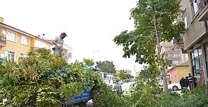 Alaca'da ağaçlar budandı
